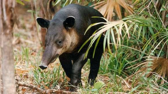 Tapir dans la réserve naturelle de Shipstern au Belize
