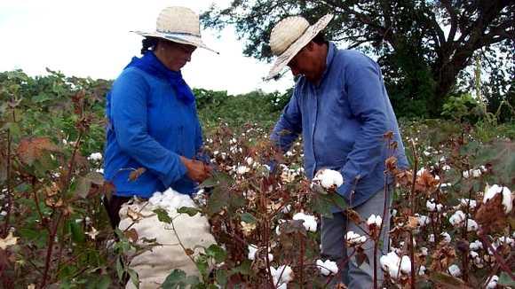 Champs de coton au Paraguay