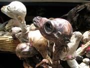 foetus-lama
