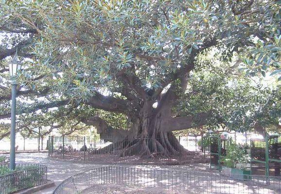 Buenos Aires/Gomero Ou Ficus Géant