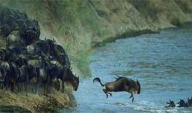 Gnous traversant la rivière Mara