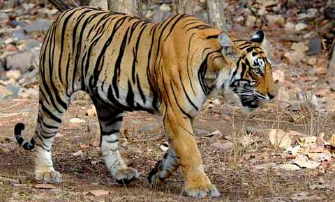magazine du tourisme actualit l inde interdit l exploitation touristique des tigres. Black Bedroom Furniture Sets. Home Design Ideas